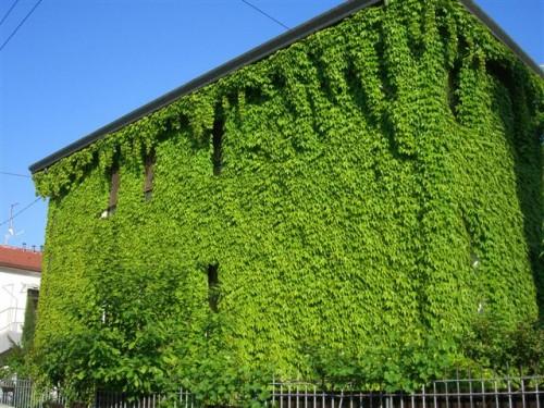 cimg93681 500x375 Le facciate verdi