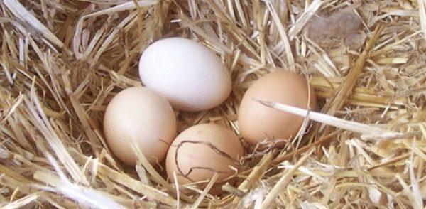 salubrità - Uova bio nella tua casa bio 6